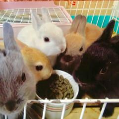 ペット/ウサギ 先ほどのウサギ(ネザーランドドワーフ)の…