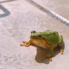 雨蛙/テラス 2020.6.7 仕事前、テラスの植物に…