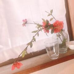 窓辺のディスプレイ/春インテリア/ハンドメイドカーテン/ガーゼカーテン/桃の花/春のフォト投稿キャンペーン/... 庭のしだれ桃が満開です。 母が切って来て…