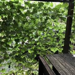 千成りひょうたん/グリーンカーテン/ひょうたん/住まい ウッドデッキに千成りひょうたんのグリーン…