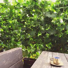 ひょうたん/グリーンカーテン/ウッドデッキ/コーヒータイム/ひょうたんアート/ひょうたん栽培/... 千成りひょうたんのグリーンカーテンの裏側…(1枚目)