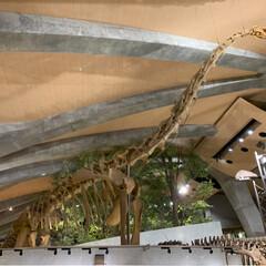 博物館/おでかけ/カブトムシ/恐竜/化石 自然史博物館に行ってきました!(3枚目)