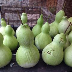 ハンドメイド/ひょうたん/ひょうたんアート/ひょうたん作家/ひょうたん栽培 昨年、収穫した、ひょうたん