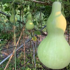 ひょうたん/夏のお気に入り 毎年栽培してる、ひょうたんです!