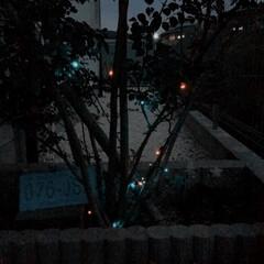 クリスマスインテリア/ソーラーライト/イルミネーション/夜景/教えてください/撮影方法/... 玄関先の植木です。 シンボルツリーのシマ…