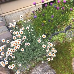 癒し/はる/マリーゴールド/春の一枚/春の花/実家の庭/... 春仕様の実家の庭に マリーゴールドが咲い…