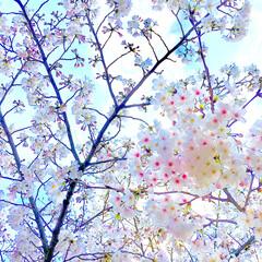 散歩中/お花見/はな/青空/癒し/春の花/... 春の一枚コンテストに参加します♪  まだ…