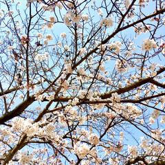 癒し/春日和/快晴/青空/ソメイヨシノ/お花見/... 一昨日くらいからようやく暖かくなり  県…