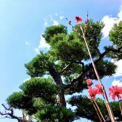 新元号/春日和/快晴/青空/松の木/実家の庭/... 実家の庭の花桃が綺麗。  桃の花ではなく…