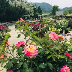 garden/令和元年フォト投稿キャンペーン/至福のひととき/おでかけ/風景/おでかけワンショット Garden No.7 薔薇🌹と宿根草の…