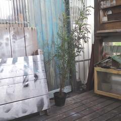小屋/エクステリア/植木/シマトネリコ/ウッドデッキ/DIY/... シマトネリコを買いました。。。 来週、お…