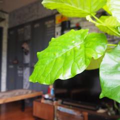アイデア投稿もしています/インスタグラムやってます/ブログ書いてます/うららかものづくりCafe/ウンベラータ/令和元年フォト投稿キャンペーン/... おすすめは、観葉植物です♡ 春にウンベラ…