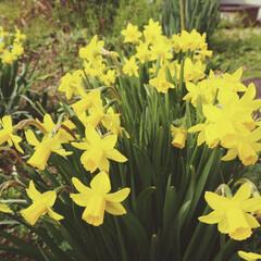 花/アイデア投稿しています/インスタグラムやってます/ブログ書いてます/うららかものづくりCafe/フォロー大歓迎/... お庭に水仙が咲いてました。  緑と黄色が…