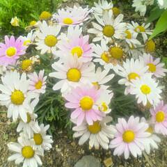 ガーデニング/花/グリーン 咲き出した頃はもう少しピンクが濃かったの…