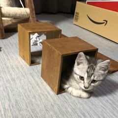 仔猫/セリア 我が家に家族が増えました! セリアの木枠…