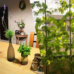 夏の風物詩/ゴーヤ/ハーブ/植物のある暮らし/植物/夏インテリア/... 家にいる時間が多くなったので 植物を育て…