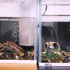 ペット/金魚すくい/お祭り/夏休み/飼育/可愛い/... 水槽の仲間達♪ 動き回って中々上手く撮れ…