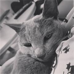ロシアンブルー/猫/LIMIAペット同好会/にゃんこ同好会/うちの子ベストショット 15年半連れ添った愛猫ありすちゃんが虹の…(1枚目)