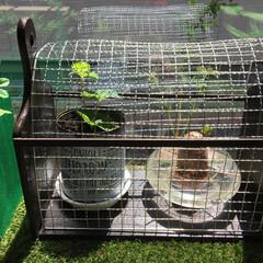 焼網/観葉植物/100均/ダイソー さつまいもと 苺の芽が出ました🌱 猫よけ…