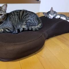 大好き/癒し/かわいい/二匹/オス/子猫/... お気に入りの座椅子に仲良くマッタリ中😺💕