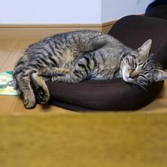 座椅子/ネムネム/愛猫/ペット