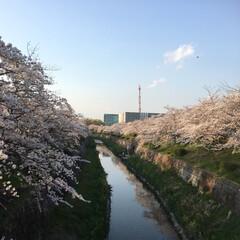 「桜🌸」(2枚目)