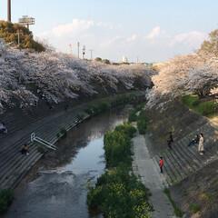 「桜🌸」(1枚目)