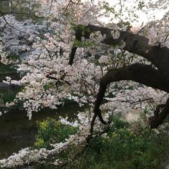 「桜🌸」(3枚目)