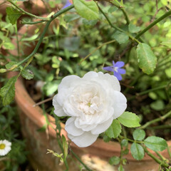 ガーデニング/花/マイガーデン 白いミニ薔薇💕が一輪咲いてくれました☺️🎶