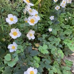 花/マイガーデン 今日のマイガーデン🌸秋明菊がみんなこっち…