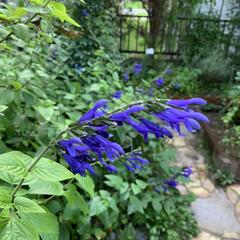 ガーデニング/マイガーデン メドーセージの紫色が少しだけ涼しい気分に…