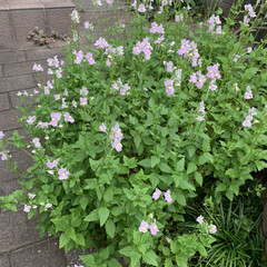 マイガーデン/ガーデニング こぼれ種でアプローチの隙間に咲いたネメシ…