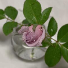 マイガーデン/ガーデニング 庭の薔薇ブルームーン 風🌀で折れちゃう前…