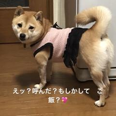 アレルギー/女の子/豆柴/おてんば/犬服