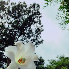 暮らし 真っ白なユリが素敵に咲いた(*☻-☻*)