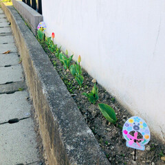 マイホーム/イースター/春が来た/お花のある暮らし/チューリップ/住まい/...  自宅横に少しだけあるスペースに 冬にば…