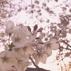 桜/さくら/お花見 桜が綺麗に咲いていました🌸