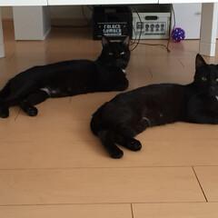 黒猫 気づけば同じポーズをとりがちの兄弟さんで…