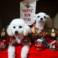 振り袖/お正月/フォロー大歓迎/ペット/ペット仲間募集/犬/... 年賀状用に 振り袖を着ての1枚です。