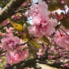 春のフォト投稿キャンペーン/はじめてフォト投稿 公演で見つけたちょっと遅めの桜♡♡  #…