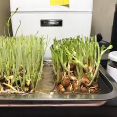 豆苗 豆苗の再利用 YM菌にて育成中です