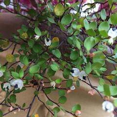 庭づくり/ガーデニング ワイヤープランツに花が咲き実がなりました…
