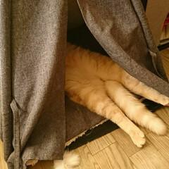 猫の寝姿/猫の寝相/頭隠して尻隠さず/お昼寝中/カインズ ペットグッズ/愛猫/... 我が家の愛猫、ライム♥️ 頭隠して尻隠さ…