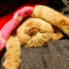 ペットハウス/猫の寝相/愛猫/大の字で寝る猫/コンテスト参加/ペット/... 我が家の愛猫ライム😻ブランケットの下は、…