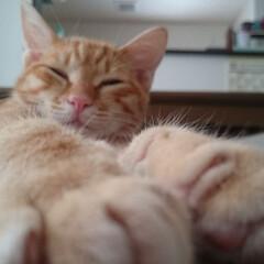 ペット/猫/トラ猫 我が家のあんちょびくん‼ もふもふの足が…