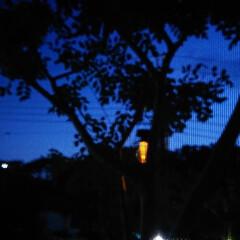 夜景/ソーラーライト/シマトネリコ/影絵 庭のシマトネリコに吊るしたライトを撮った…