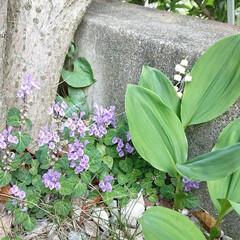 名前/紫の花/花 我が家の金木犀の元、鈴蘭に混ざって可愛く…(1枚目)