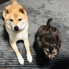 雑種猫/ふくちゃん/柴犬/柚/LIMIAペット同好会/フォロー大歓迎/... 柚とふくちゃんが、ソファーに座る私の足元…