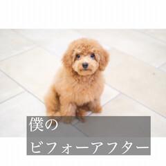 犬好き/ビフォーアフター/トリミング/トイプードル/いぬ 僕の名前はピノ。初めてトリミングに行って…