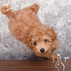 トイレトレーニング/愛犬/犬との暮らし/いぬ/トイプードル/トイプードル赤ちゃん/... 愛しのピノ。 トイレトレーニングに苦戦し…